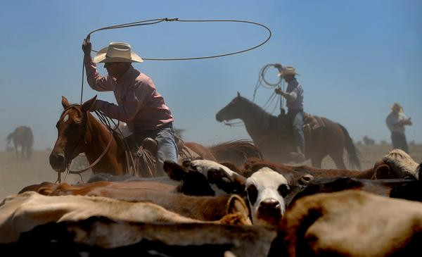 Cowboys rounding up cows