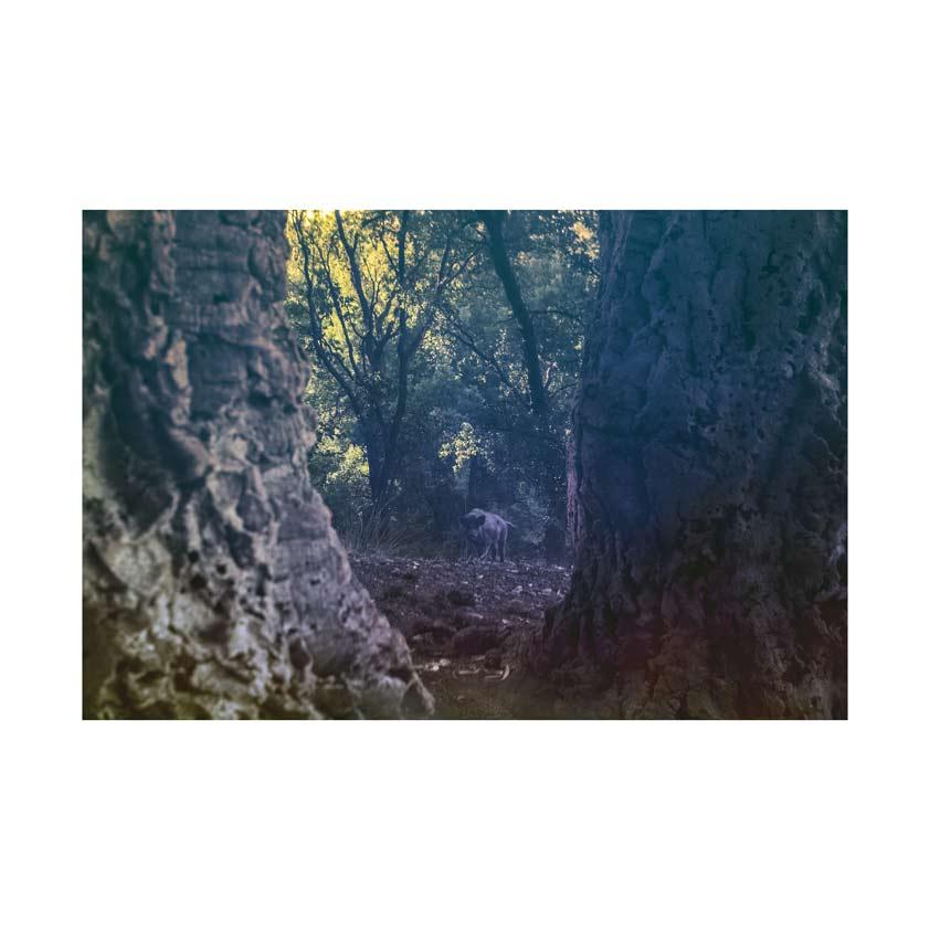 Rome-boar-trees