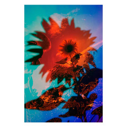 Sunflower-17