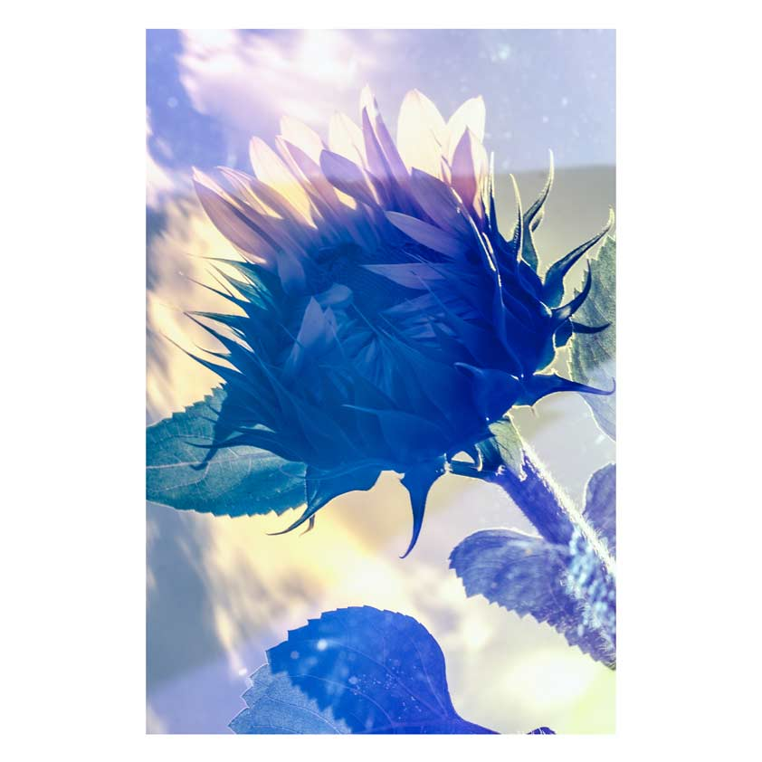 Sunflower-23