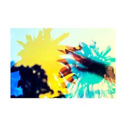 Sunflower-04
