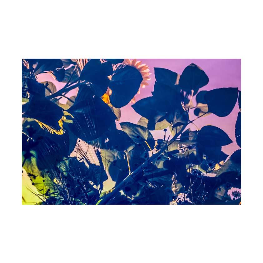 Sunflower-20