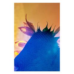 Sunflower-06