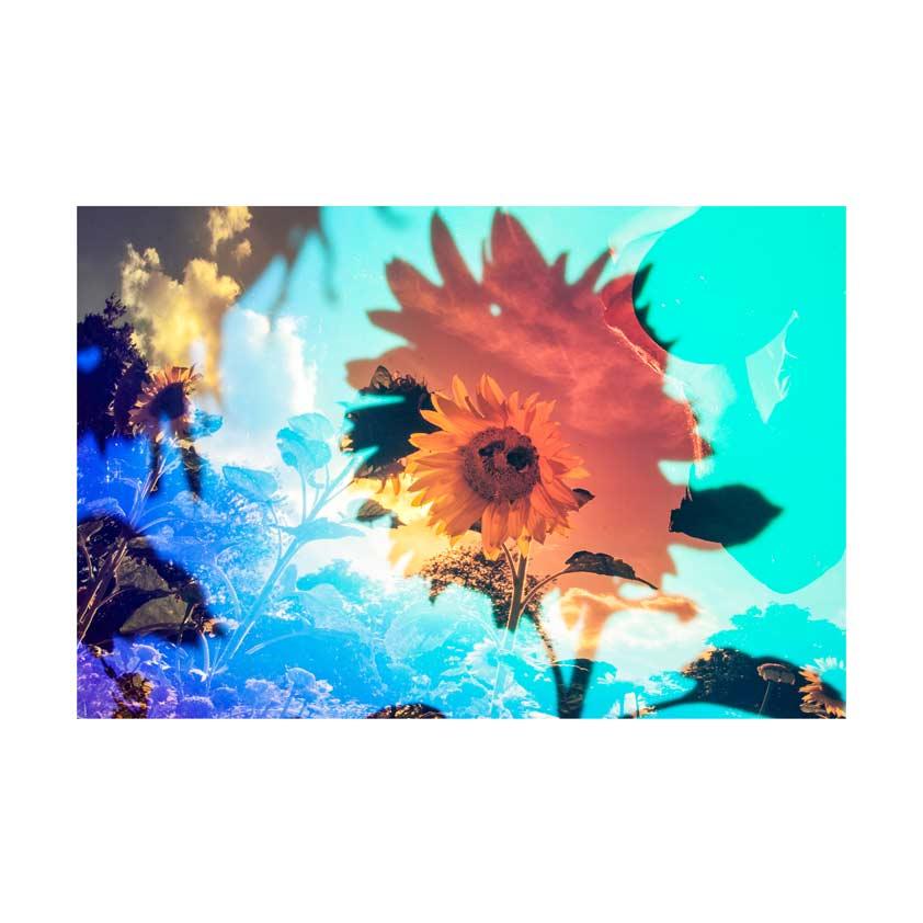 Sunflower-15
