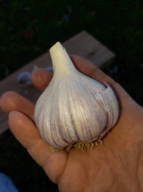 (Pre order) Music Garlic (Naturally Grown) Seed Garlic