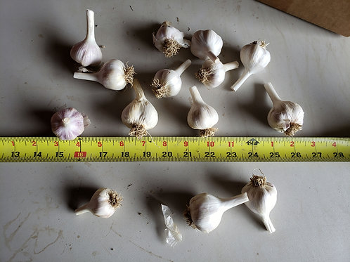 Russian Giant- (Naturally Grown) Eating Garlic