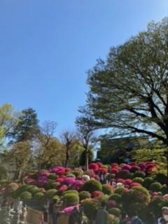 根津神社のつつじと近郊の藤の花
