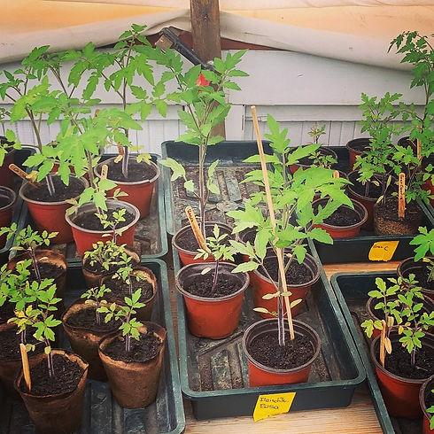 Setzlinge Tomaten.jpg