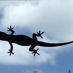 Gecko nocturne (lézard classique) sur une vitre.