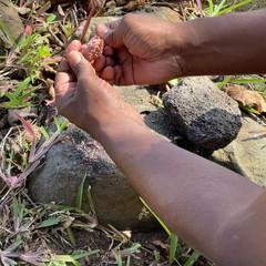 Notre guide casse et décortique le fruit du badamier pour en extraire une petite amande comestible