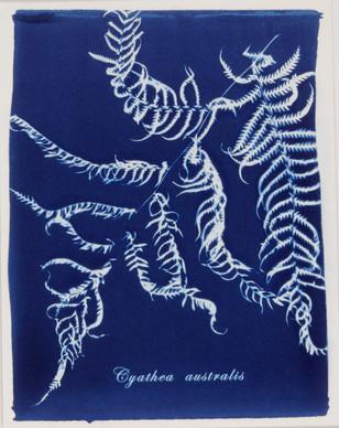 Cyathea australis.jpg