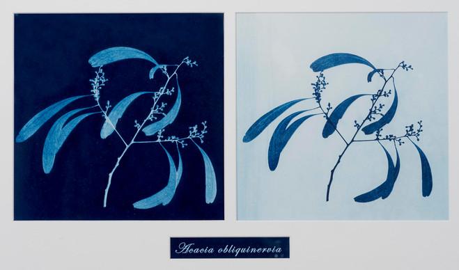 7. Acacia obliquinervia.jpg