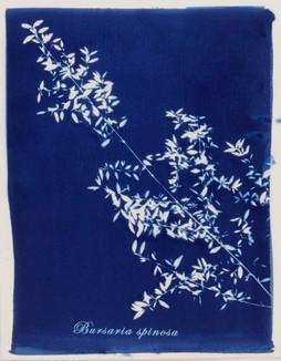 Bursaria spinosa..jpg