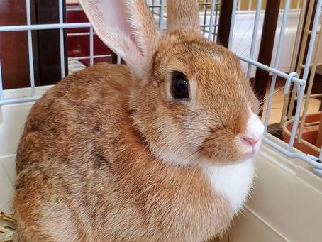 9月 カイウサギの譲渡会のお知らせ