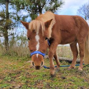 ミニチュアホース「チャコ」のふれあい体験&乗馬体験