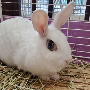 カイウサギの里親募集