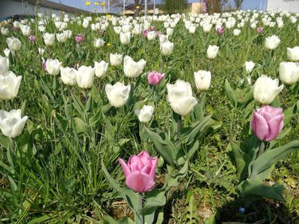 Prächtige Tulpenblüte - auch ohne offizielle-Zeremonie