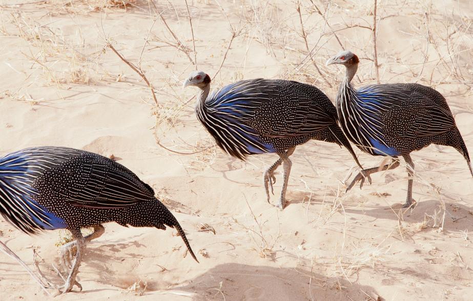 Vulturines