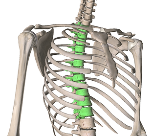 Thoracic.png
