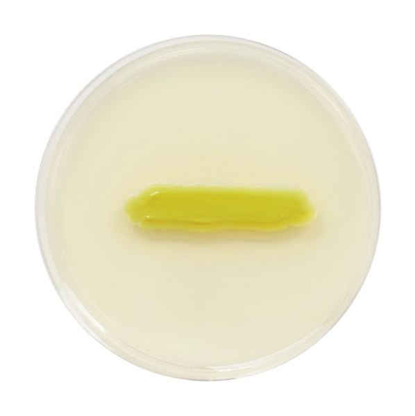 Glutamicibacter soli