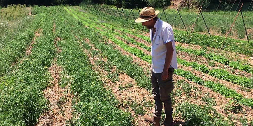 Il cultive ses tomates sans eau ni pesticide