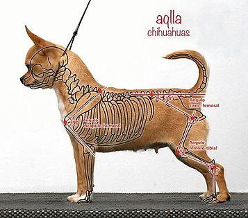 scheletro chihuahua