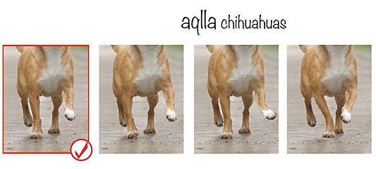 appiombi chihuahua