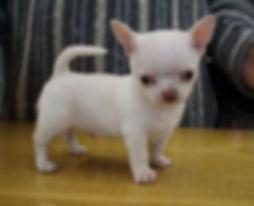 cucciolo chihuahua leri's gang