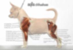 muscolatura arti chihuahua