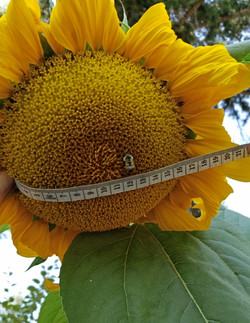 1st Place Widest Sunflower Head - Anita Castle