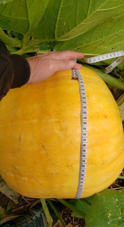 1st Place Largest Pumpkin - Anita Castle