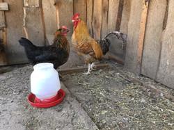 Best Pair of Poultry - Cohen Salz