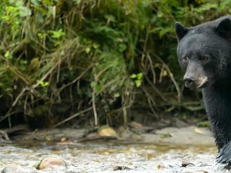 Safety First: Man Kills Black Bear with Hatchet