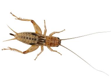 Silent brown crickets
