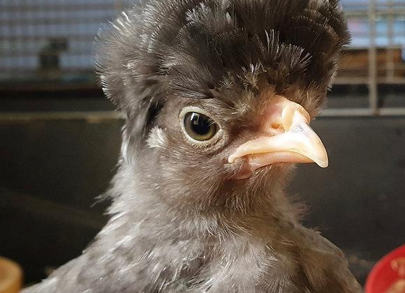 Polish bantam chicks