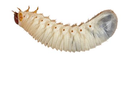 Fruit beetle/Pachnoda grubs