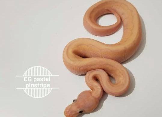 Male Banana Coral Glow Royal Python