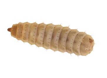 Calciworms