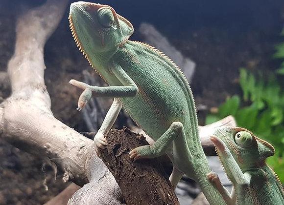 Female Yemens/Veiled Chameleon