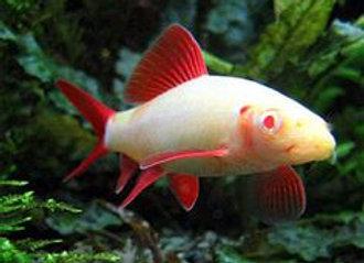 Albino Shark Red Fin