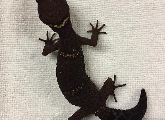 Cave Geckos