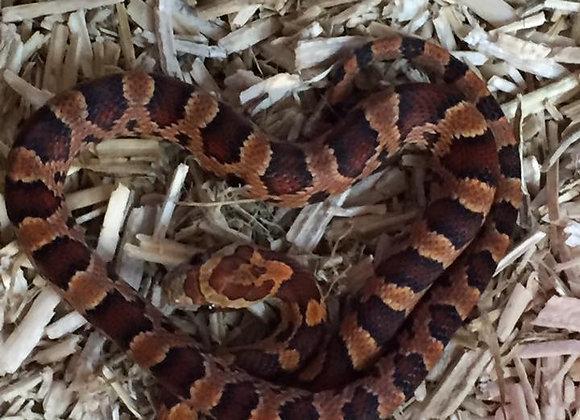 CB20 Hatchling Carolina Corn snake