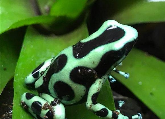 Green and Black Auratus dart frog