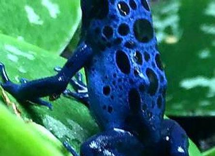 Azureus dart frog