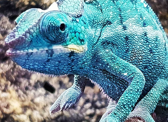 Male Nosy Faly Panther Chameleon