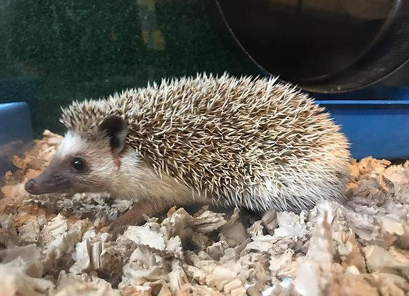 African Pygmy Hedgehog male