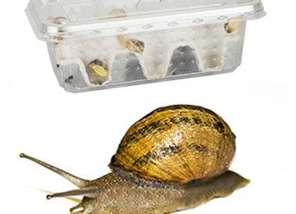 Feeder snails