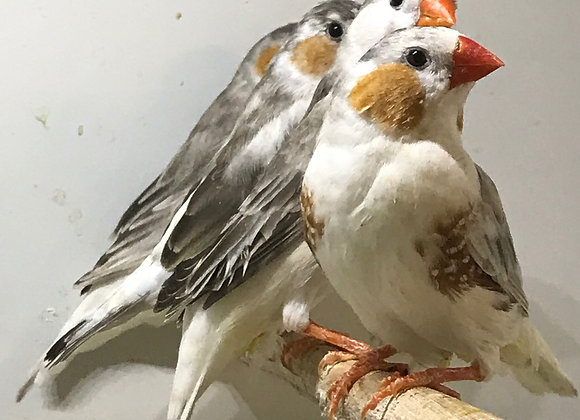 Pair of Penguin Finches