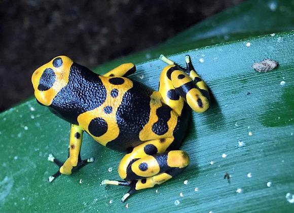 Bumblebee dart frogs (Leucomelas)