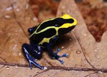Cobalt blue dart frog